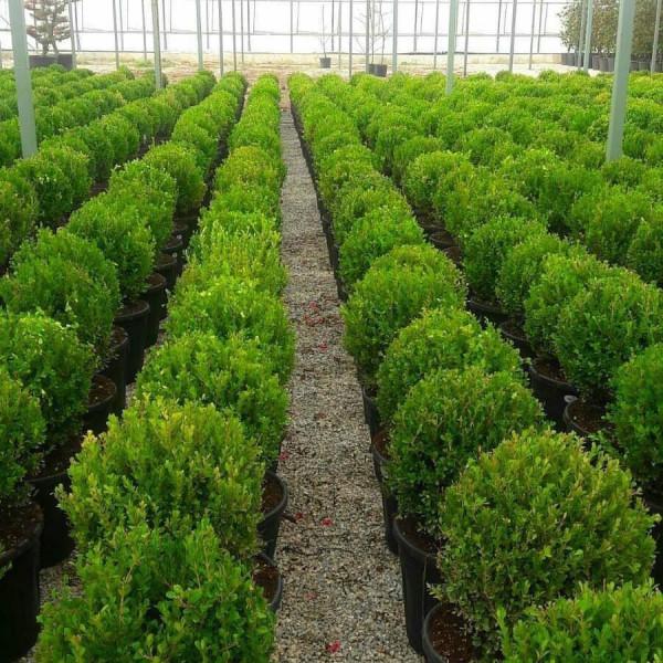 Buxus Rotundifolia 30-40см