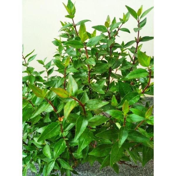 ABELİA grandiflora Prostrata 25-30см